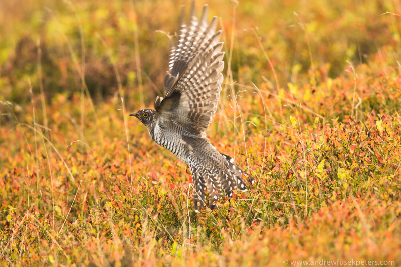 Juvenile Cuckoo on Stiperstones October 2 - UK Birds