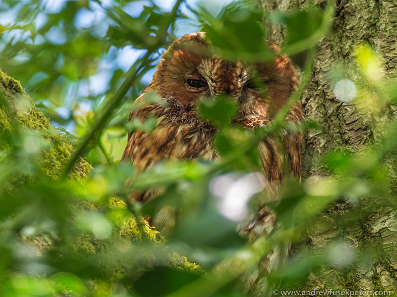 adult tawny owl portrait - Olympus Wildlife