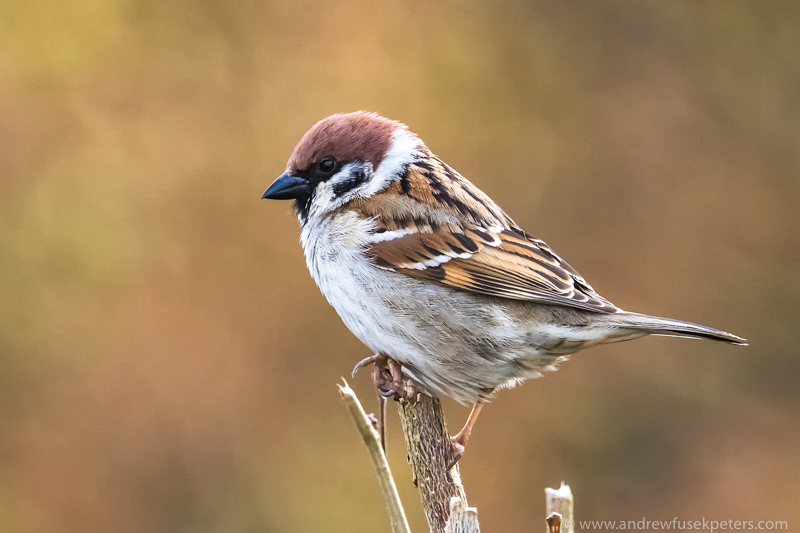 Tree sparrow on the hill above my house - UK Birds
