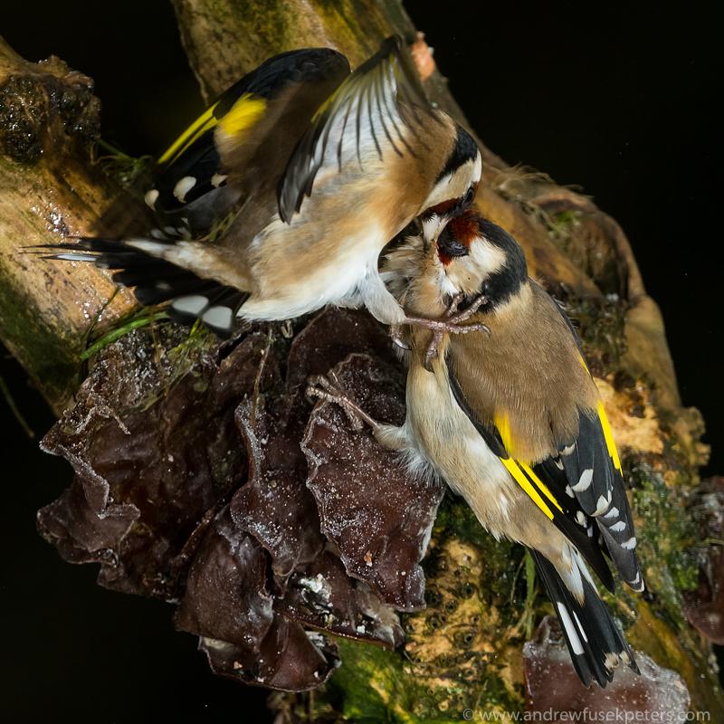 goldfinch vicious squabble - Garden Birds