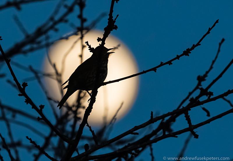 Singing thrush at dusk as the moon rises - UK Birds