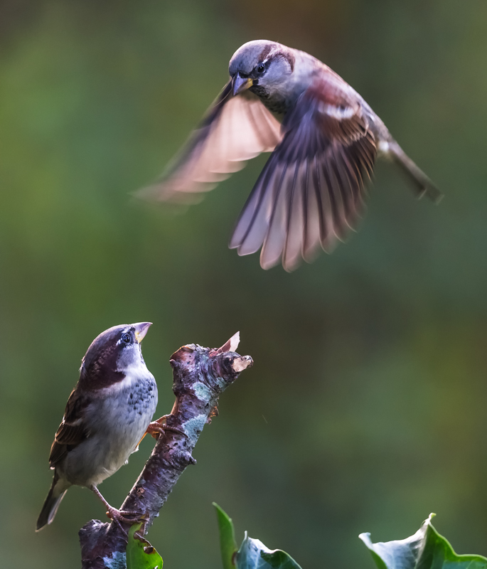 sparrows on twig - Garden Birds
