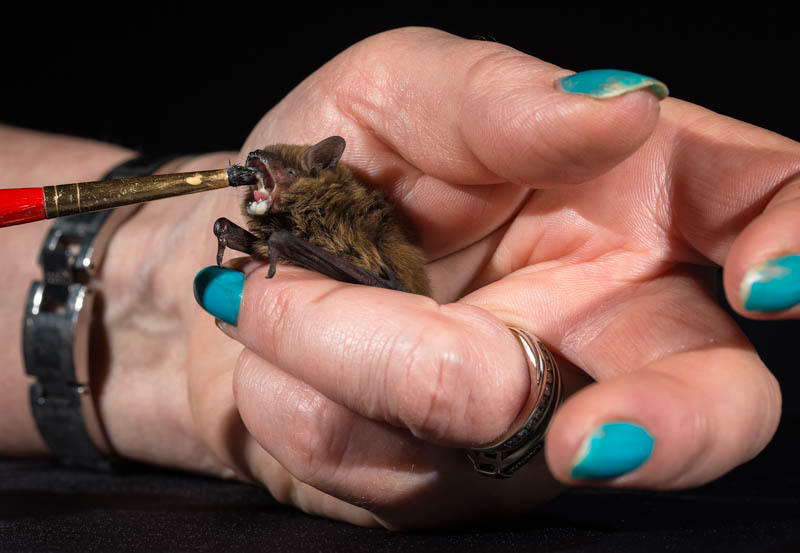 Pipistrelle bat being fed - Media & Awards