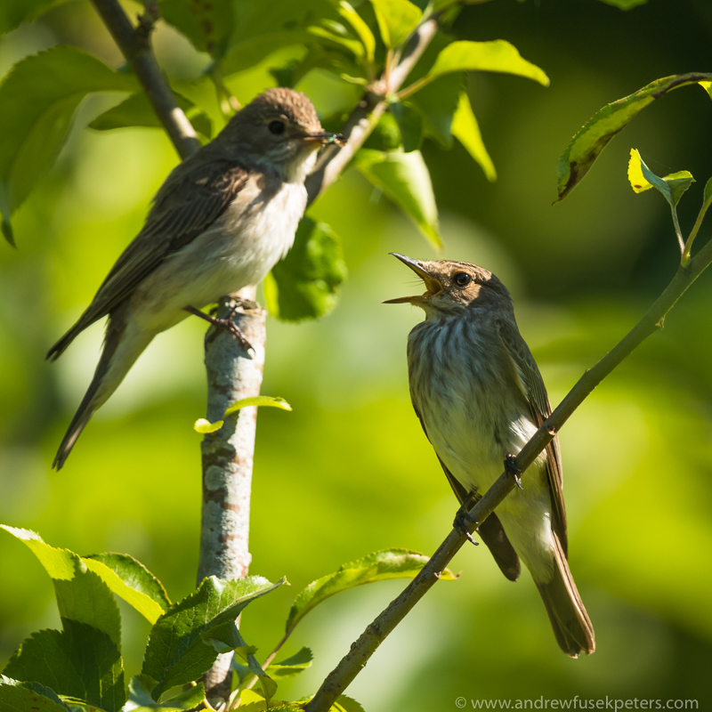 flycatcher male feeding female - Garden Birds