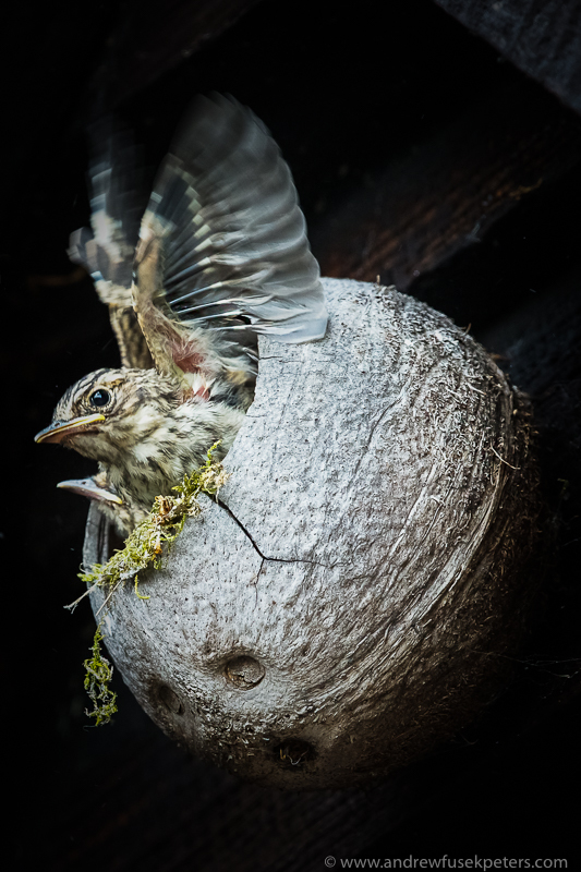 spotted flycatcher fledgeling trying wings in coconut shell - Garden Birds