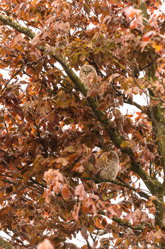 Tawny context and camouflage - UK Owls