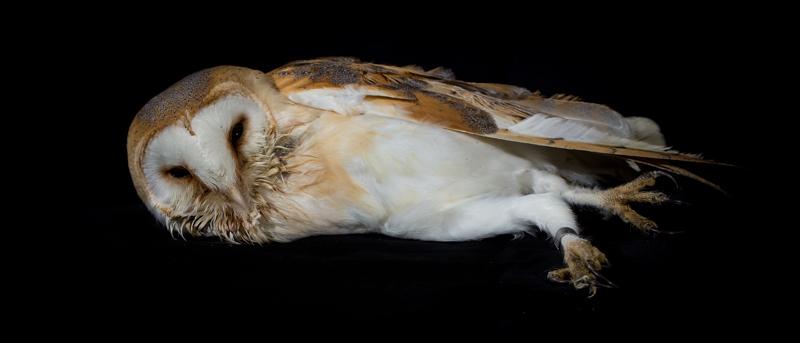 Barn owl portrait, playing dead - Cuan Wildlife Rescue