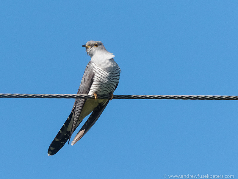 cuckoo portrait 3 - Olympus Wildlife