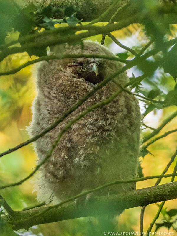 tawny owlet calling for food - Olympus Wildlife