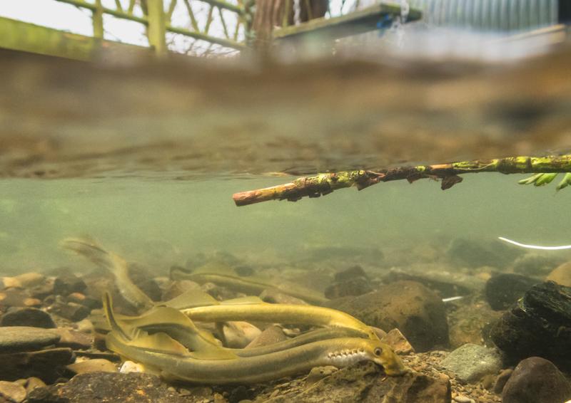 Brook lampreys at Brockton 3 - Wide-angle Wildlife
