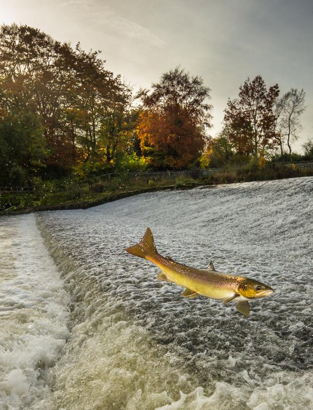Leaping salmon at Shrewsbury - Wide-angle Wildlife