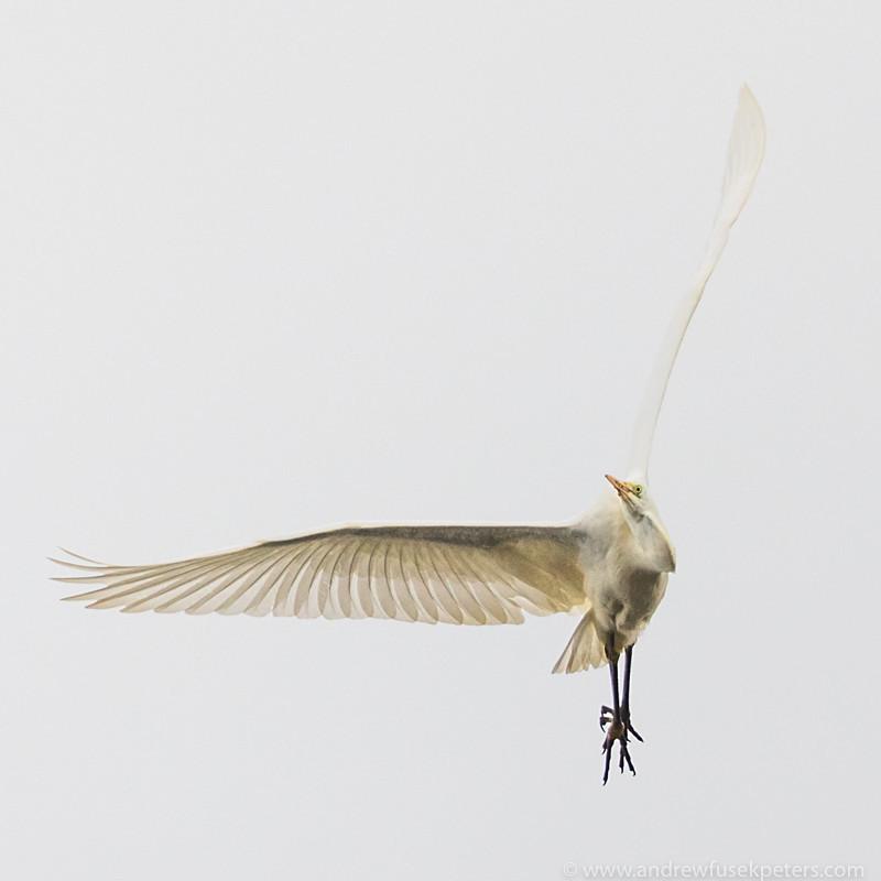 Great white egret South Shropshire - UK Birds