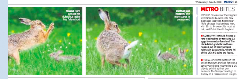 Metro Hare attacked by rabbit June 2018 2 - Media & Awards