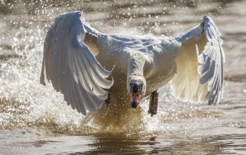 Busking swan Walcot - UK Birds
