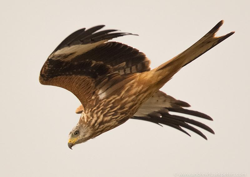 Kite in flight 3 - UK Birds of Prey