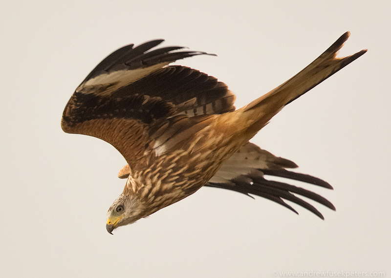 kite in flight 3 - UK Hawks