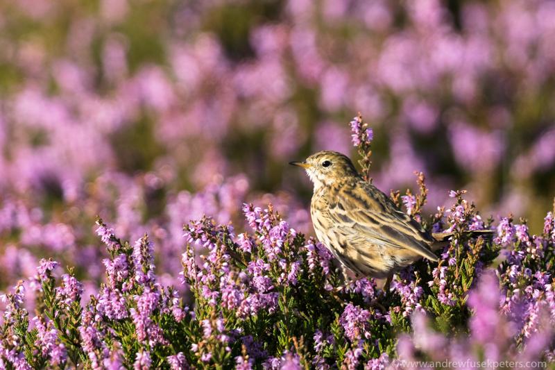 Meadow pipit Long Mynd purple heather - UK Birds