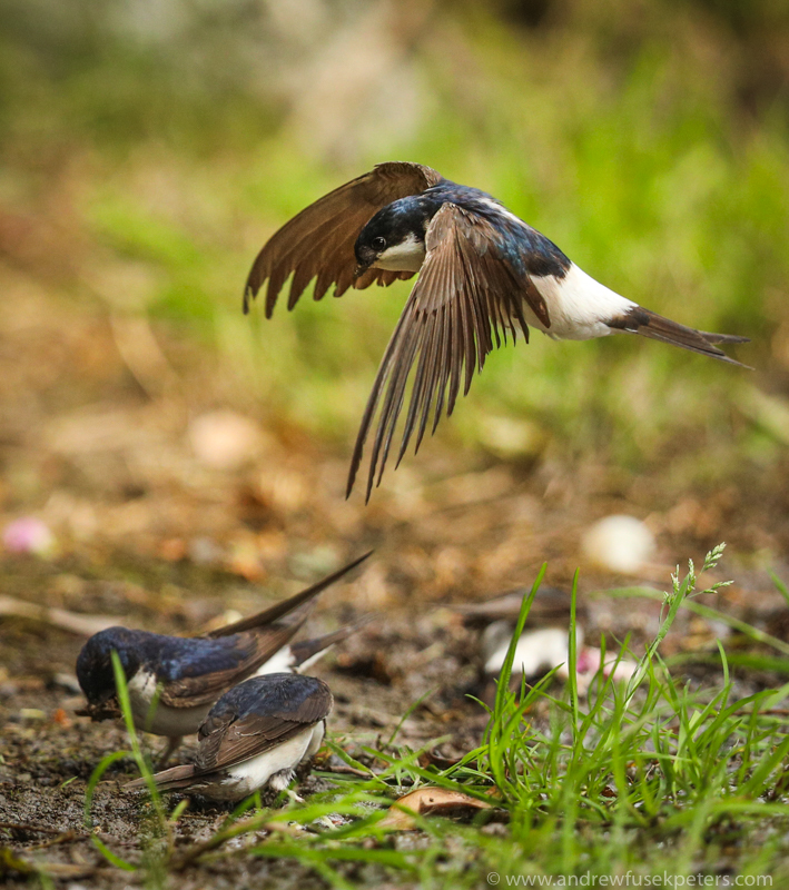 house martins gathering mud up our lane 2 - UK Birds
