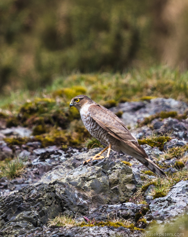Sparrowhawk on Cow Ridge, Long Mynd - UK Hawks