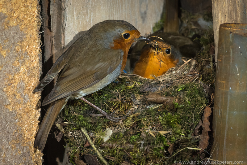 robin parents at the nest with cranefly - Garden Birds