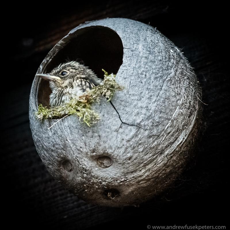 Flycatcher chick portrait - Garden Birds