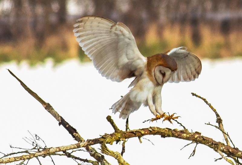 Barn owl landing - Showcase