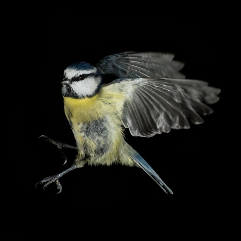 Blue tit in flight - Garden Birds