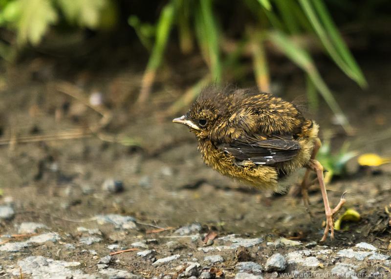 Robin fledgling jumping 1 - Garden Birds