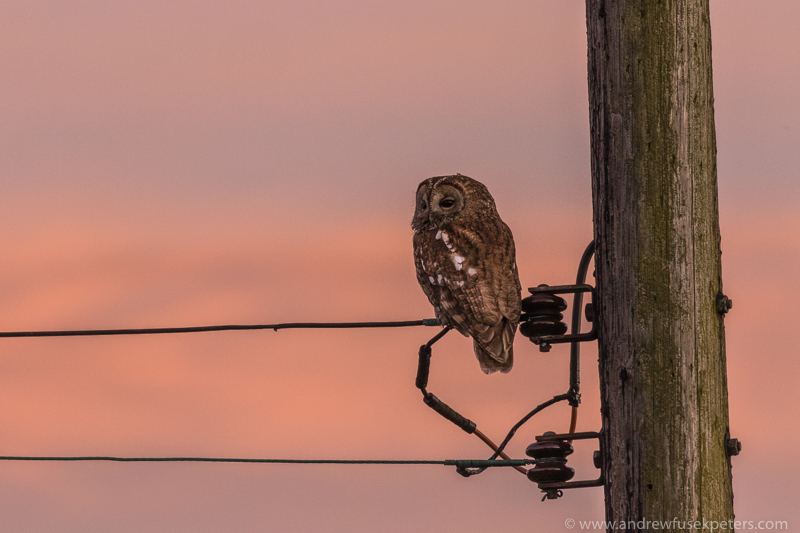 Tawny mother telegraph sunset colours - UK Owls