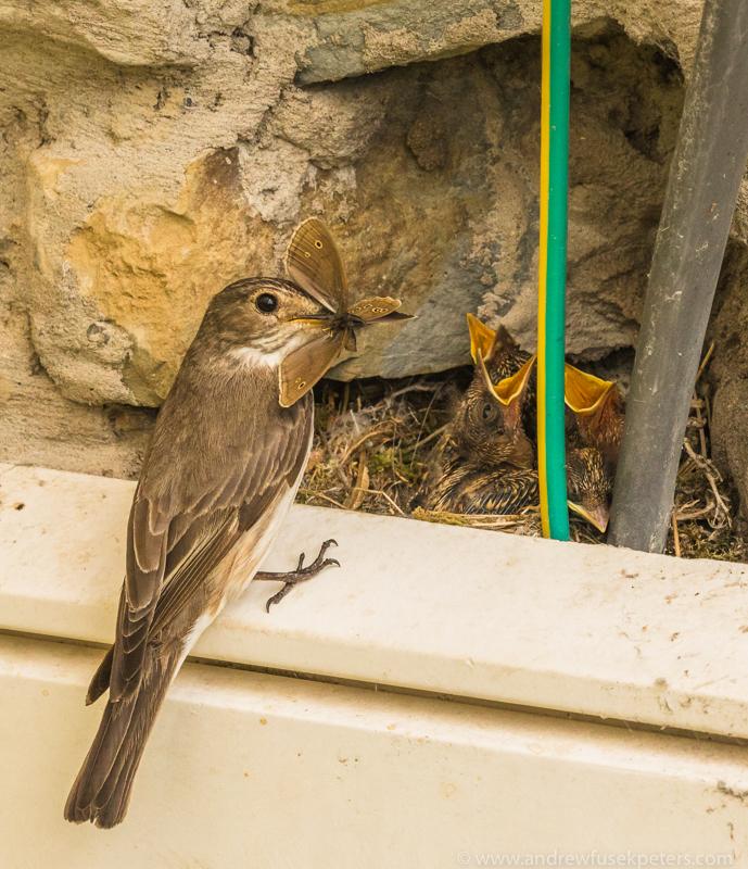 flycatcher with ringlet - Garden Birds