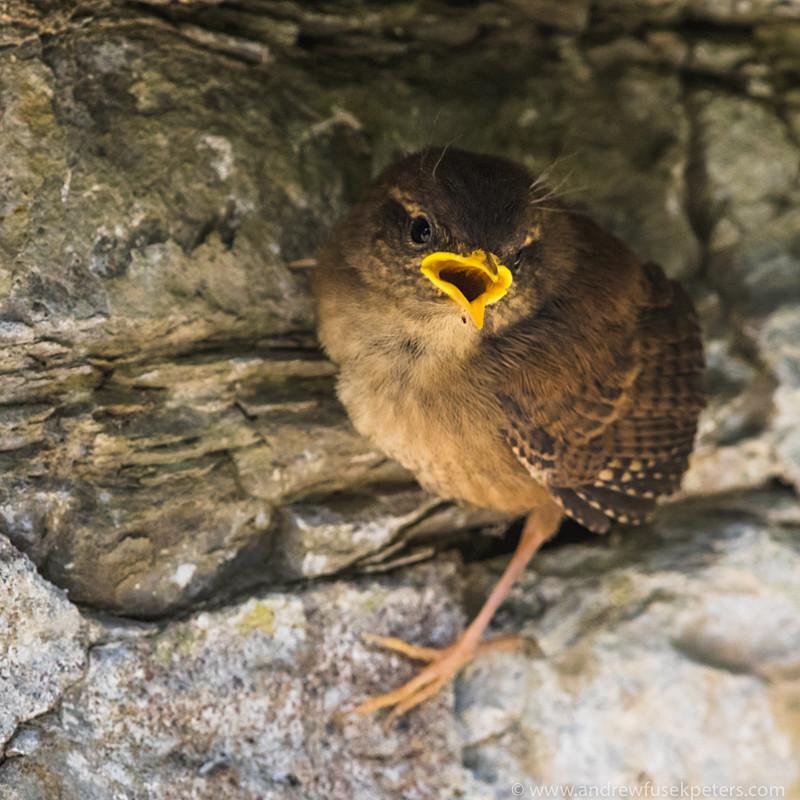Robin fledgling - Garden Birds