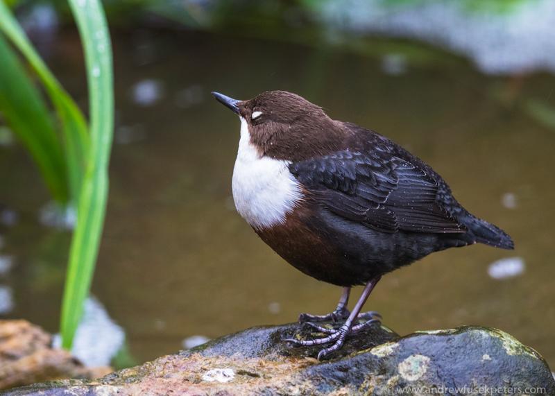 Dipper at Ludlow - UK Birds