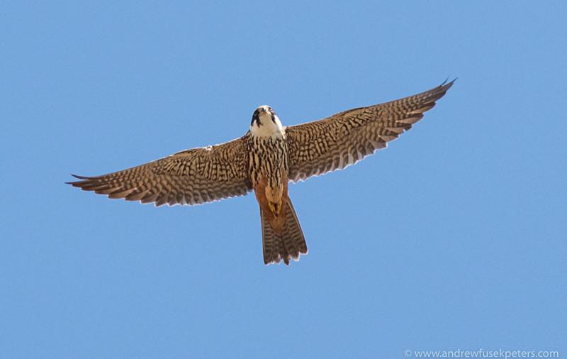 hobby in flight - Olympus Wildlife