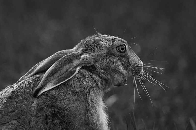 Hare yawning - Hares