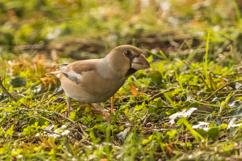 Hawfinch in my neighbour's garden 4 - Garden Birds