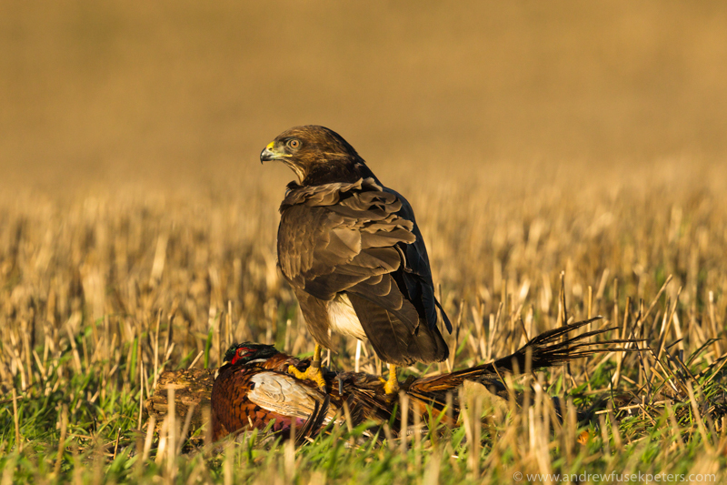 buzzard feeding on pheasant 1 - UK Hawks
