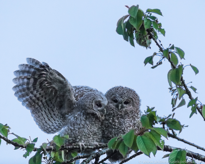 Tawny chick pair interaction - UK Owls