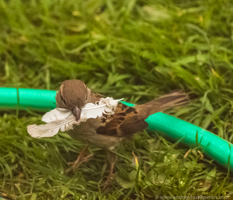 Sparrow taking feather from collared dove kill - UK Birds of Prey