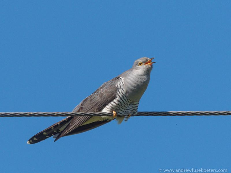 The calling cuckoo - Olympus Wildlife