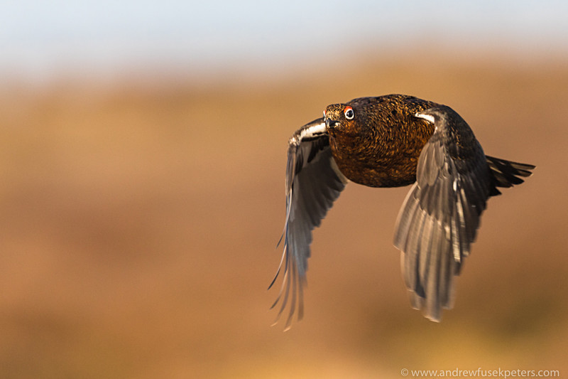 Red grouse in flight, dawn, Stiperstones - Upland, Shropshire's Long Mynd & Stiperstones