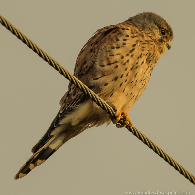 Kestrel in stormlight 2 - UK Birds of Prey