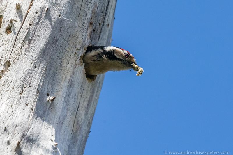 Lesser spotted woodpecker nest 2 - UK Birds