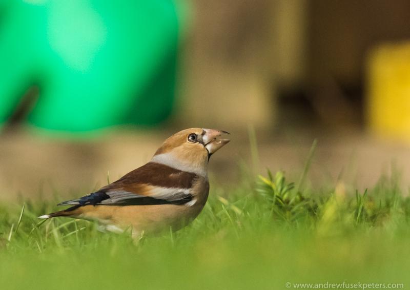 Hawfinch in my neighbour's garden 1 - Garden Birds