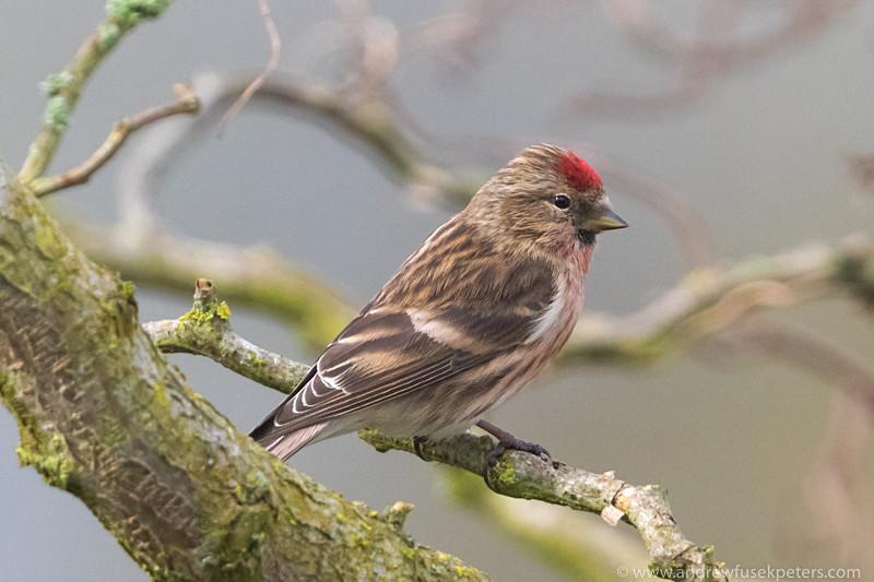 redpoll portrait 2 - Garden Birds