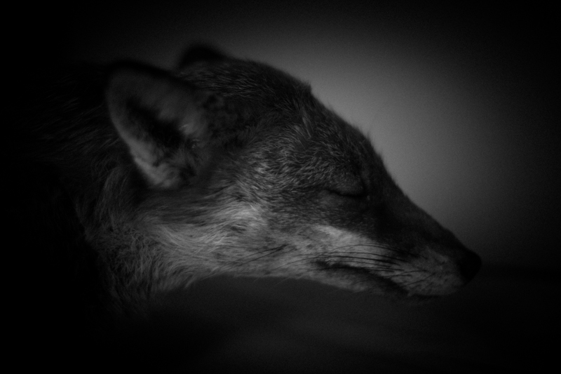 Dead Fox - Cuan Wildlife Rescue