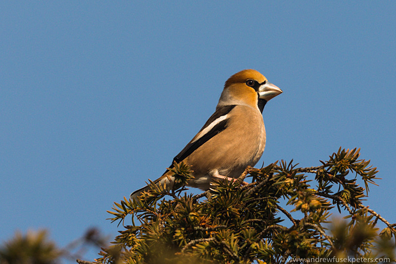 Hawfinch in the churchyard - UK Birds