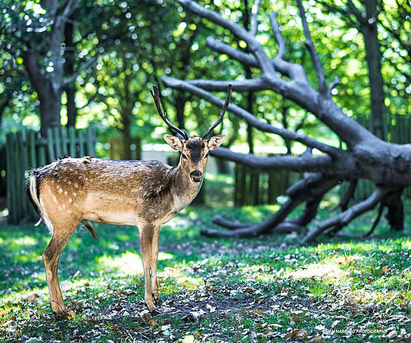 The Dunham Deer - Other Cheshire
