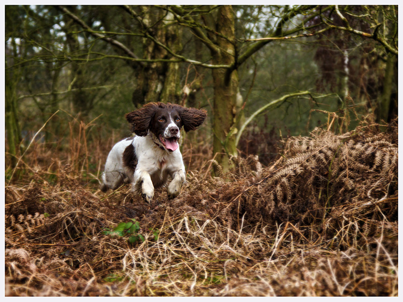 Springer Spaniel Photography | Dog Photographer | Lewes Sussex