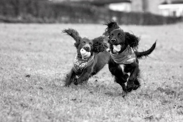 Working Cocker Spaniels | Dog Photography | Lewes