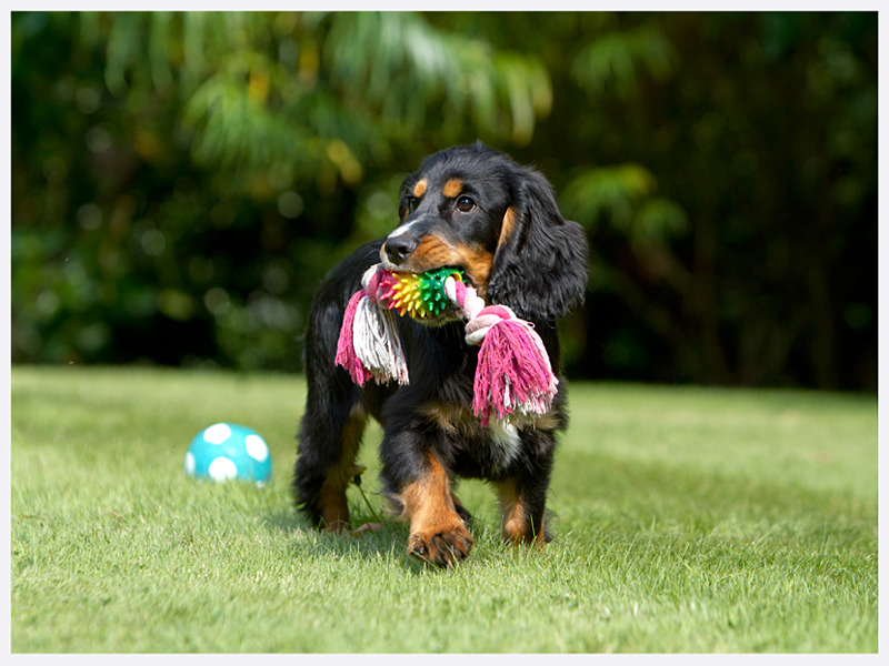 Cute Cocker Spaniel Puppy | Dog Photography | East & West Sussex